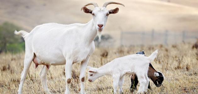 صور كم تحلب الماعز في اليوم , نوع الماعز يتحكم في كمية الحليب