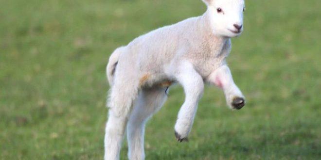 صورة ما هو حيوان الحمل , حيوان الحمل او الخروف الصغير