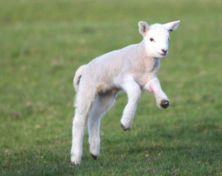 صور ما هو حيوان الحمل , حيوان الحمل او الخروف الصغير