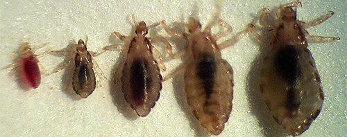 صور حشرة القمل بالصور , ما هو القمل الذي يظهر في الشعر