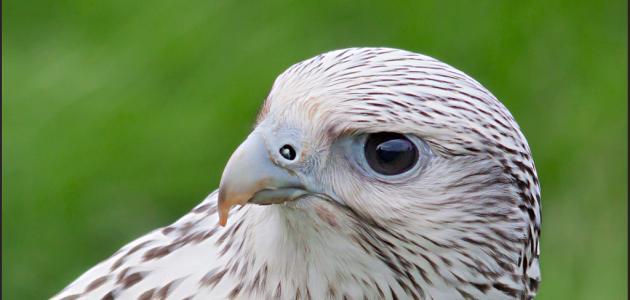 صور كيف يموت الصقر , طائر جارح قوي يعيش سنوات كثيرة او قليلة
