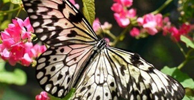 صور تفسير حلم الفراشة البيضاء , تفسير رؤيا الفراشه