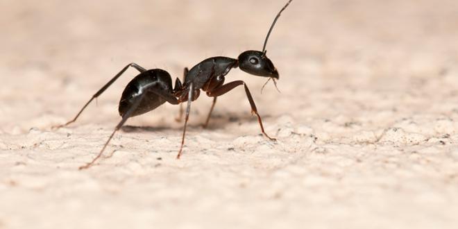 صور كيف اتخلص من النمل , طرق للتخلص من النمل