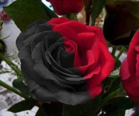 صور ورد اسود الورد الاسود النادر والرائع احاسيس بريئة