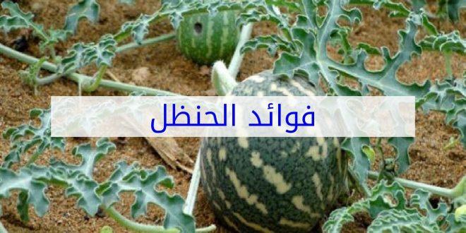 صورة فوائد نبات الحنظل , ما لا تعرفه عن نبات الحنظل