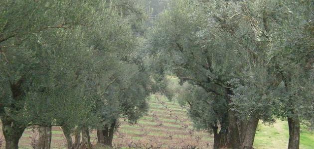 صورة شعر عن شجرة الزيتون , اهم اشعار شجر الزيتون